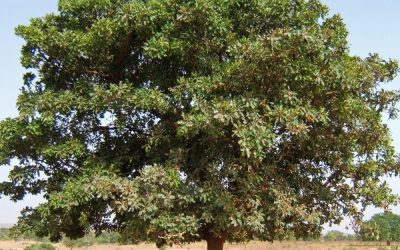 Shea nut tree-what are the benifits?